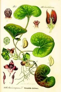 Лекарственные растения при заболеваниях желудка
